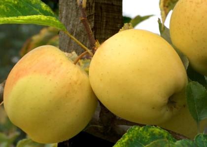 Ябълка сорт Златна превъзходна – Golden Delicious