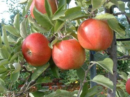 Ябълка сорт Бребърн - Braeburn Schneider