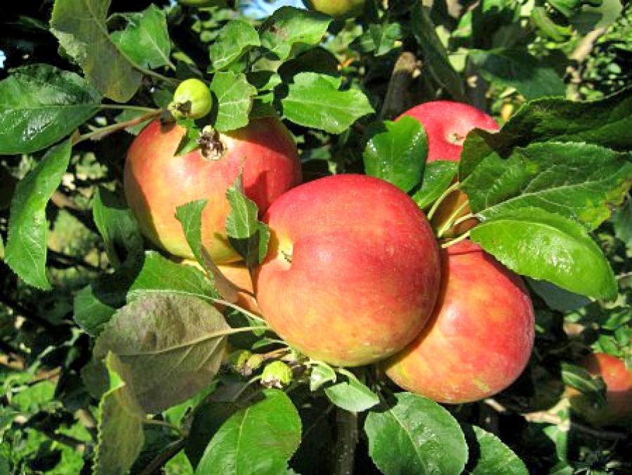 Ябълка сорт Мелроуз