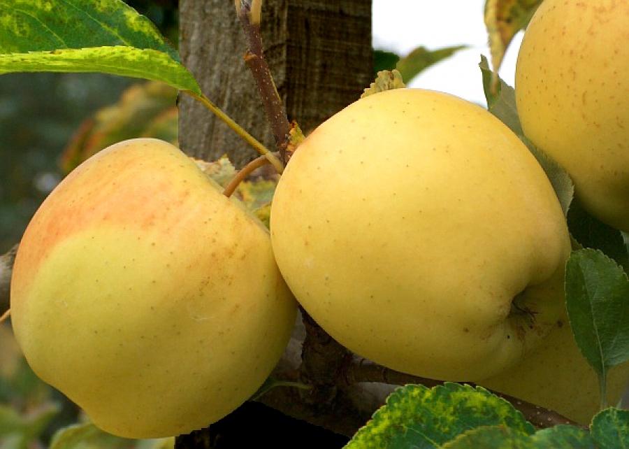 Ябълка сорт Златна Превъзходна