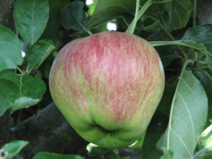 Ябълка сорт Молиз делишес – Mollies Delicious