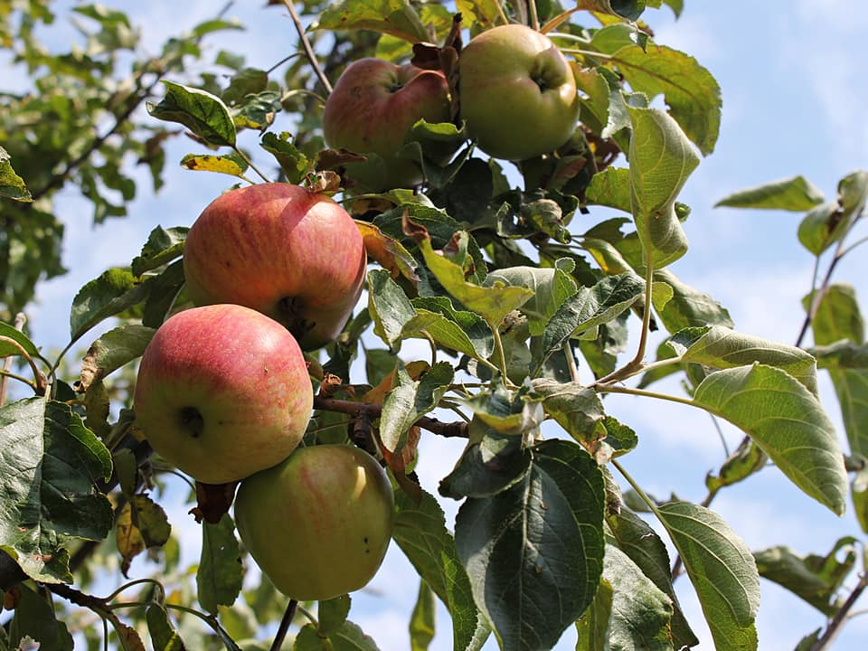 Производител на Ябълки в България